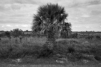 Palm tree in a pasture, Central Florida. Jan 2017